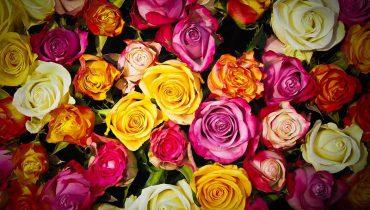 Sprzedaż róż sklep