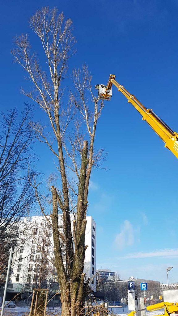 wycinką drzew trudnych metodą alpinistyczną